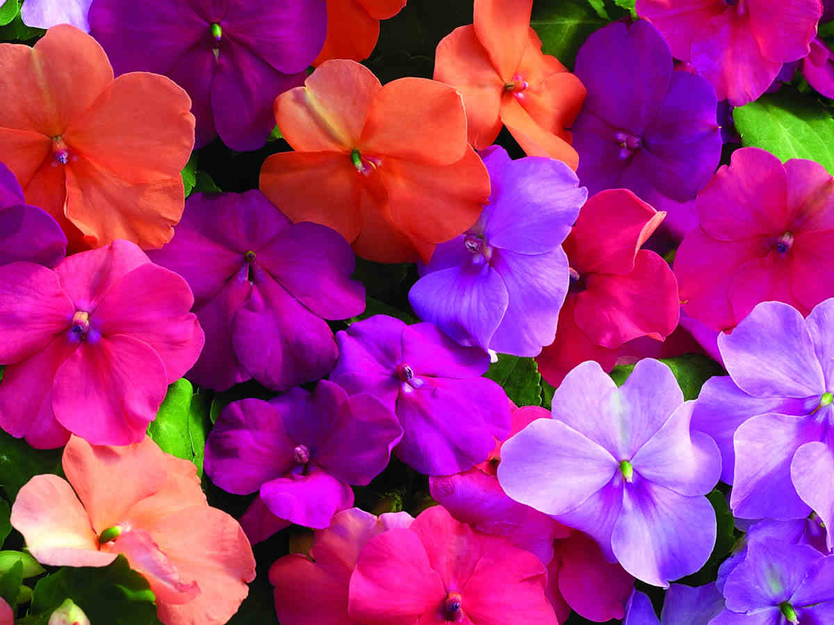 Colors bos Flower Spring Colors Gray House Exterior Seeds Sh