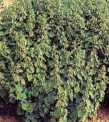 Horehound Plant