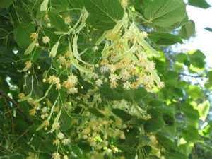 Linden Flower Blossoms